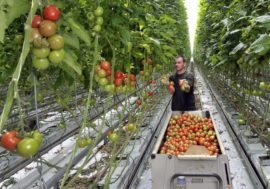 Передові технології в сільському господарстві Нідерланд – як можливість нагодувати цілий світ